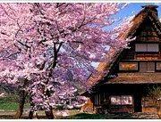 shirakawa sakura
