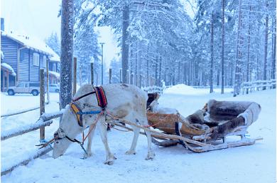 Experience the greatest Reindeer Safari in Lapland!