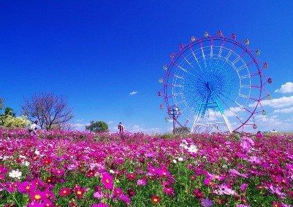海之中道海滨公园赏花 ( 4月中旬至下旬 ) 3